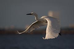 That Ship Has Sailed (gseloff) Tags: whitemorphreddishegret bird bif wildlife galvestonjetties bolivarflatsshorebirdsanctuary texas gseloff