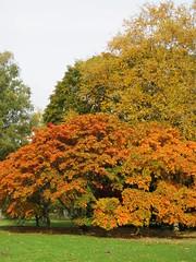 UK - Berkshire - Near Virginia Water - Autumn colour in Windsor Great Park (JulesFoto) Tags: uk england southbankramblers berkshire windsorgreatpark virginiawater autumncolour tree