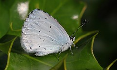 Holly Blue 040816 (4) (Explored) (Richard Collier - Wildlife and Travel Photography) Tags: naturalhistory wildlife macro butterflies closeup british hollyblue