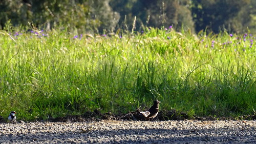 Willie Wagtail and Plover