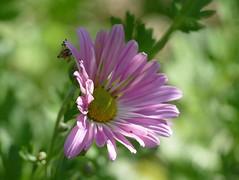 Hardy mum in my garden (lovesdahlias 1) Tags: chrysanthemums perennials flowers blossoms gardens nature fall newengland