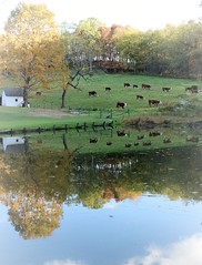 Autumn Reflections (Beviea) Tags: farm farming reflections autumn cows cattle fall trees westvirginia bucolic serene pastoral nature water pond