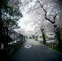 diamond (troutfactory) Tags:  sakura cherry blossoms  blossomviewing  toyonaka  kansai  japan holga square mediumformat fujifilmprofessional400