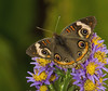 Buckeye (Junonia coenia) (AllHarts) Tags: buckeyejunoniacoenia bernheimforest bullittecounty shepherdsvilleky butterflygallery challengeclubchampions naturescarousel ngc npc
