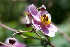 Nectar-quest (FerencSeitz) Tags: ferencseitzphotography nikon nikor chicagobotanicgarden