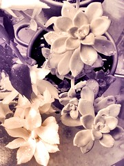 #succulents #cactus #rain #thirsty #bizarrebeauties (ChristinaFofina79) Tags: succulents cactus rain thirsty bizarrebeauties