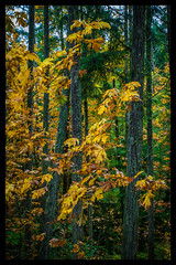 IMG_5873-Edit (bluecameraguy) Tags: canada canon5d canon 5d classic 5dc landscape vancouverisland bc cathedral grove fall