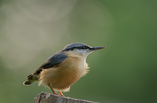 Nuthatch-2456 (Explored)