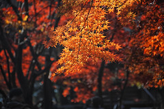 2016  (shinichiro*) Tags: 20161122sdim0560edit 2016 crazyshin sigmasd1merrill sd1m sigma24105mmf4dgoshsm autumn november niiza saitama japan jp    nik