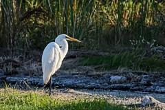 Sentinel (brev99) Tags: egret bird ngc highqualityanimals crescentpark tulsa pond grass perfecteffects10 ononesoftware tamron70300vc d7100