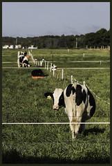 happy_fence_friday #HFF (NetAgra) Tags: dairycows fences hay heifers pasture rotationalgrazing holstein hff happy fence friday fencefriday grass green border