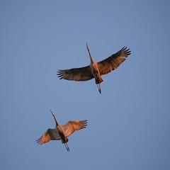 Crane Bellies :)  (Dahai Z) Tags: autumn2016 jasperpulaskifishandwildlifearea medaryvilleindiana sandhillcranes sky sunset