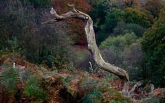 Tree-Mendous Tree, Calke Abbey (NJKent) Tags: autumn deadtree autumncolours tree nationaltrust calkeabbey derbyshire eastmidlands uk