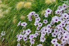 Flowers (pmenge) Tags: denver botanicgarden flores flowers 18135 xt1