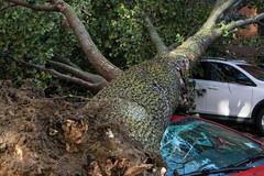 The neighborhood lost a tree today (molybdena) Tags: brooklyn plant tree newyorkcity winddamage newyork transportation vehicle automobile lichen boerumhill nyc