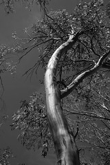 Gum Tree (mrnudl) Tags: gum tree gumtree australien bw