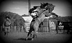 Bem abancado (Eduardo Amorim) Tags: gacho gachos gaucho gauchos cavalos caballos horses chevaux cavalli pferde caballo horse cheval cavallo pferd crioulo criollo crioulos criollos cavalocrioulo cavaloscrioulos caballocriollo caballoscriollos pampa campanha fronteira bag riograndedosul brsil brasil sudamrica sdamerika suramrica amricadosul southamerica amriquedusud americameridionale amricadelsur americadelsud cavalo         hst hest hevonen  brazil eduardoamorim gineteada jineteada