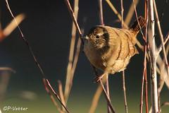 Troglodyte mignon 161207-03-P (paul.vetter) Tags: troglodyte mignon troglodytes oiseau ornithology ornithologie