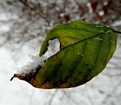Rehearsal 12/07/16 (dianecordell) Tags: winter nature weather snow leaf cold december queensburyny