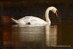 Mute Swan (My Planet Experience) Tags: mute swan cygne female cygnus olor anserinae waterfowl bird wild wildlife animal endangered species iucn redlist nopeople day sunset portrait horizontal colourimage pond etang dombes ain france fr myplanetexperience wwwmyplanetexperiencecom