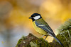 Great Tit (ABPhotosUK) Tags: animals birds bokeh burrator canon dartmoor devon ef100400mmisii eos7dmarkii greattit nocrop norsworthybridge paridae parusmajor tits wildlife