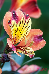 Alstroemeria (Guy_D_2010) Tags: laromieu  lule blumen     flower  cvijet blomst flor lill kukka blodyn   virg bunga blth blm fiore zieds gl  voninkazo fjura  bloem  gul  kwiat floare kvetina cvet blomma kvtina  iek  hoa   midipyrnes france d90 nikonfrance nikon nikoniste coursiana quintaflower bokeh flowersarefabulous