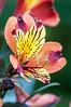 Alstroemeria (Guy_D_2010) Tags: laromieu цветок lule blumen ծաղիկ кветка цвете 花 flower 꽃 cvijet blomst flor lill kukka blodyn ყვავილების λουλούδι virág bunga bláth blóm fiore zieds gėlė цвет voninkazo fjura फूल bloem ਫੁੱਲ gul گل kwiat floare kvetina cvet blomma květina ดอกไม้ çiçek квітка hoa בלום زهرة midipyrénées france d90 nikonfrance nikon nikoniste coursiana quintaflower bokeh flowersarefabulous floralfantasy macro nature fantasticflower sublimeflower nikonafs55300mmf4556gedvr awesomeblossoms