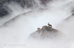 Himalayan Ibex (Zahoor-Salmi) Tags: zahoorsalmi salmi wildlife pakistan wwf nature natural canon birds watch animals bbc flickr google discovery chanals tv lens camera 7d mark 2 beutty photo macro action walpapers bhalwal punjab