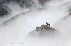 Himalayan Ibex (Zahoor-Salmi) Tags: zahoorsalmi salmi wildlife pakistan wwf nature natural canon birds watch animals bbc flickr google discovery chanals tv lens camera 7d mark 2 beutty photo macro action walpapers bhalwal punjab