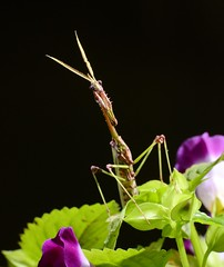 Gongylus gongylodes_Wandering Violin Mantis (1) (balharsh) Tags: mantis india insects ornatemantis indianrosemantis mantodea chhattisgarh