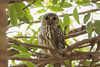 image (Frozen_Light) Tags: 6059thekimberley australia barkingowl bird fauna regions westernaustralia willaire