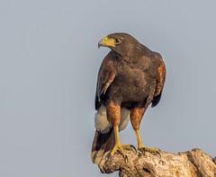 Harris's Hawk (Ruthie Kansas) Tags: hawk harrisshawk riograndevalley martinrefuge texas