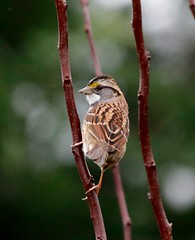 White Throated Sparrow (Heather Killoran Rees) Tags: whitethroatedsparrow white throated sparrow backyard bird