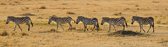 Walk The Line (perkster24) Tags: zebra zebras walktheline wildlifephotography wildlife wild wildanimal fujixf100400mmf4556 fujixe2 fuji africa african kenya masaimara masaimaranationalreserve