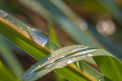 Rainbow in the meadow (lkiraly72) Tags: drop waterdrop droplet morning grass light bright colorful happy autumn nature macro outdoor macrodreams rainbow meadow