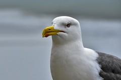 the seagull ... (miriam ulivi) Tags: miriamulivi nikond7200 gabbiano seagull nature friends