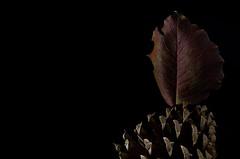 Leaf Sail on a Pinecone (KellarW) Tags: autumnleaf autumn onblack zeissaposonnar135mm fallcolors brown pinecone pineconeboat autumncolors sailboat leafsail macro redleaf fall redandgreenleaf fallleaf
