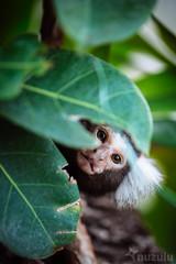 Primate Fear (Nuzulu) Tags: monkey canopy shy hausdemeeres leaves primate eyes