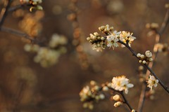 Pulizia!!! (2) (SimonaPolp) Tags: 17032016 flowers white sunset spring nature bokeh new march winter
