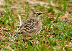 Horned Lark (snooker2009) Tags: horned lark bird nature wildlife pennsylvania migration fall spring