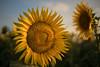 summer ahead (zenofar) Tags: sommer france frankreich provence abend afternoon sigma 35mm 14 art summer wärme heat yellow gelb bokeh dof nature