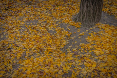 when I looked down (Andy.N.) Tags: autumn autumnleaves redleaves yellowleaves tree deadleaves