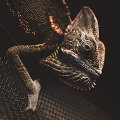 339 | 366 | V (Randomographer) Tags: project366 chameleon chamaeleon chamaeleonidae lizard zygodactyly feet crests horns brow snout eye stereoscopic vision climbing climb screen reptile reptilia animal alive organic 339 366 v