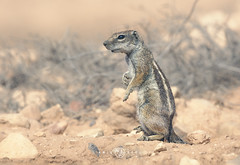 Barbary Ground Squirrel (Atlantoxerus getulus) (Kristian Bell) Tags: rodent animal wild wildlife mammal morocco canon 2016 kris kristian bell