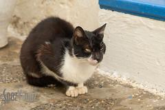 Vicious Look (Sue_Hutton) Tags: asilah maroc morocco november2016 autumn cat northernmorocco