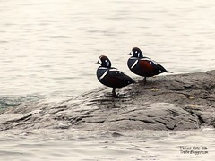 Harlequin Ducks - Victoria, BC (Michael Klotz - The Bird Blogger.com) Tags: bird harlequin duck histrionicus drake male cattlepoint oakbay victoria bc britishcolumbia canada water rock black maroon white pair blogger com