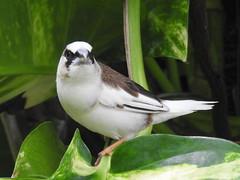 Society Finch, Lonchura domestica (20) (Herman Giethoorn) Tags: societyfinch finch songbird bird