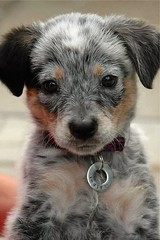 Cutest puppy in the universe, I swear. The puppy tags are fine too (Alienture) Tags: animals wallpapers pets