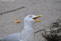 Gull (maybe a Herring Gull) (jfinnirwin) Tags: birds florida gulls herringgull floridawildlife floridabirds