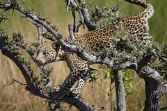 Leopard cub (RayMuzyka) Tags: cub leopard botswana